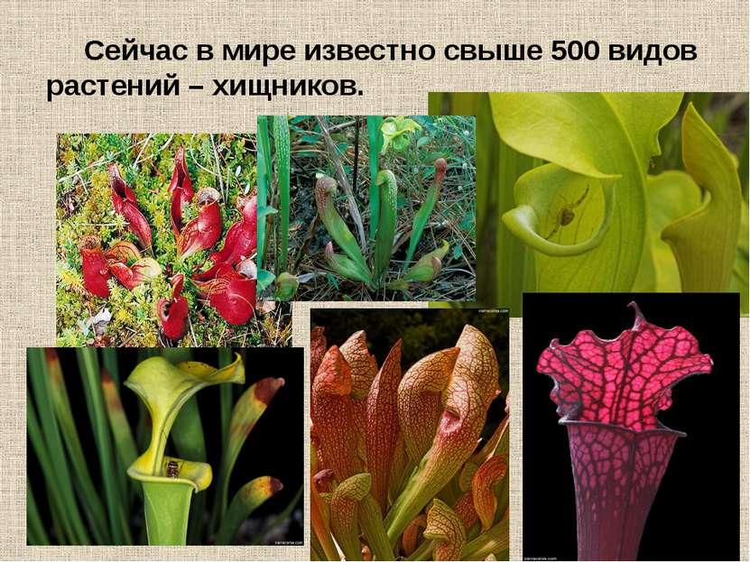 Сейчас в мире известно свыше 500 видов растений – хищников.