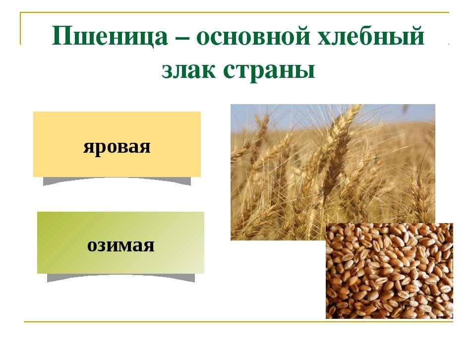 Пшеница – основной хлебный злак страны