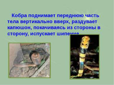 Кобра поднимает переднюю часть тела вертикально вверх, раздувает капюшон, пок...
