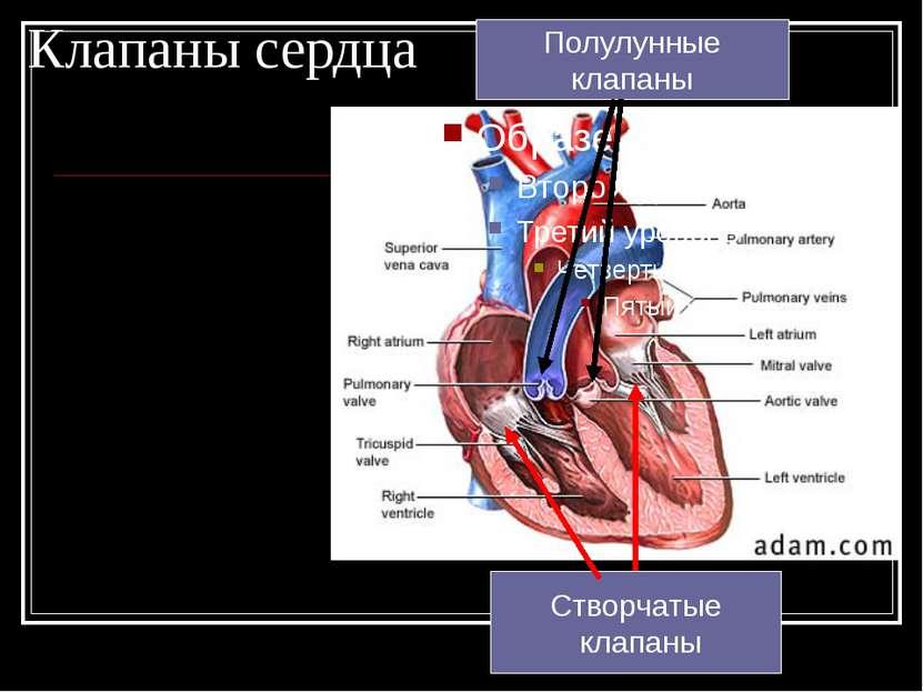 Клапаны сердца Створчатые клапаны Полулунные клапаны