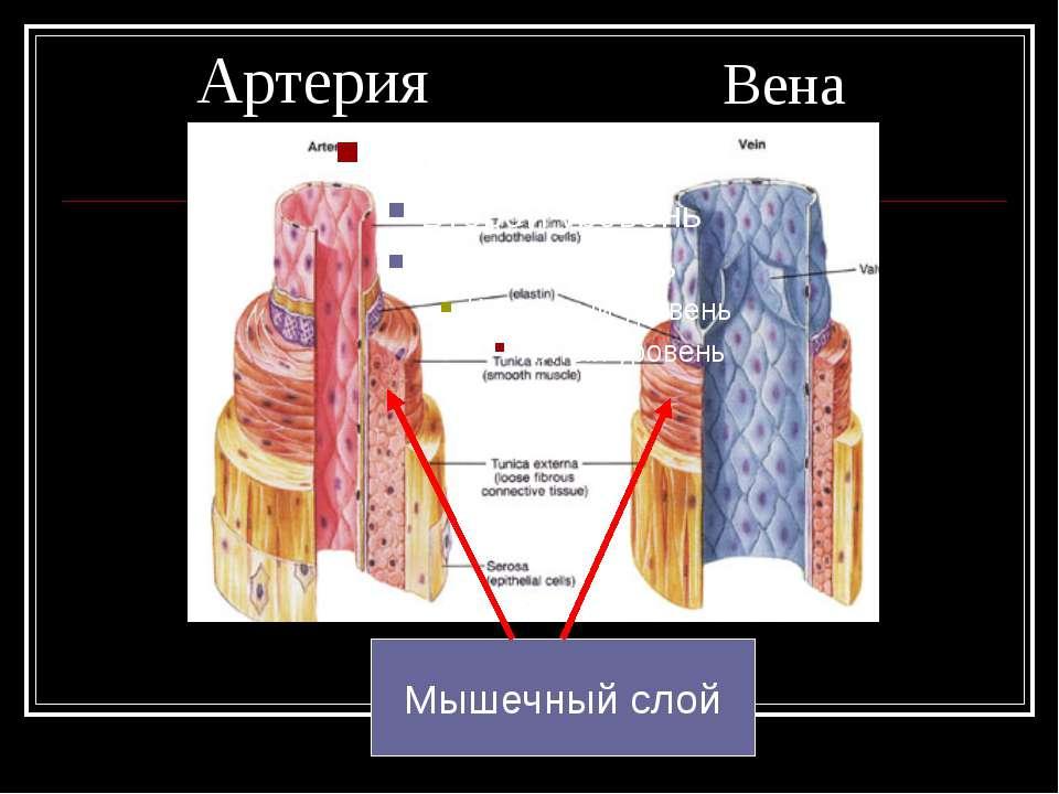 Артерия Вена Мышечный слой