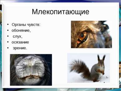 Млекопитающие Органы чувств: обоняние, слух, осязание зрение. http://aida.uco...