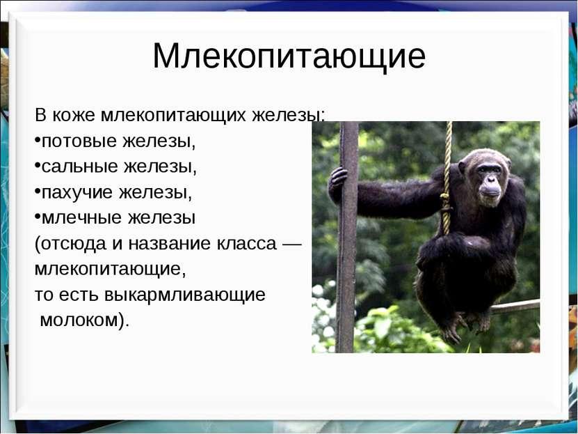 Млекопитающие В коже млекопитающих железы: потовые железы, сальные железы, па...