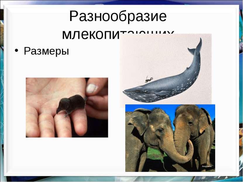 Разнообразие млекопитающих Размеры http://aida.ucoz.ru