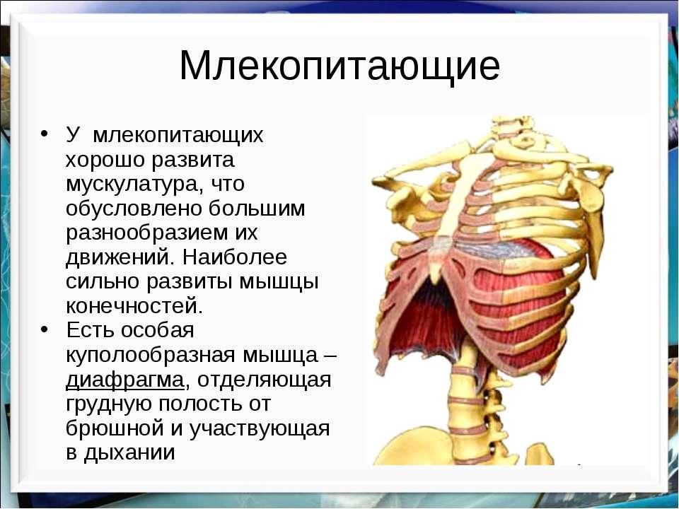 Млекопитающие У млекопитающих хорошо развита мускулатура, что обусловлено бол...