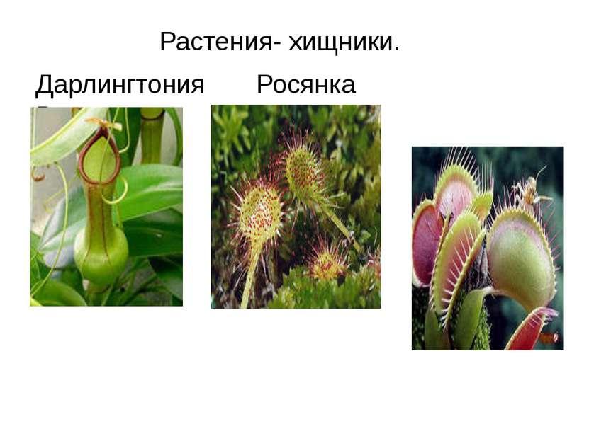 Растения- хищники. Дарлингтония Росянка Венерина мухоловка
