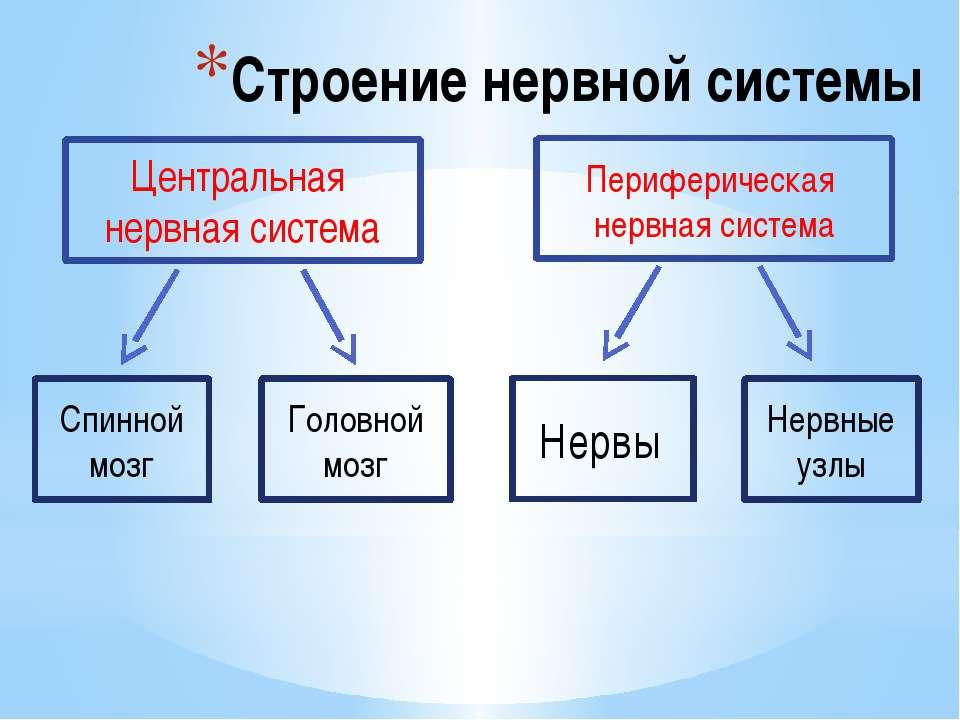 Строение нервной системы Спинной мозг Головной мозг Нервы Нервные узлы Центра...