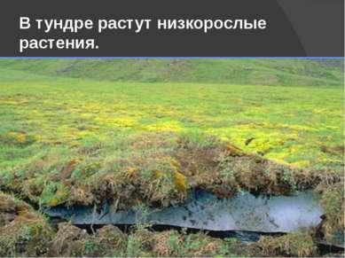 В тундре растут низкорослые растения.