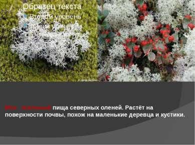 Мох - ягельный пища северных оленей. Растёт на поверхности почвы, похож на ма...