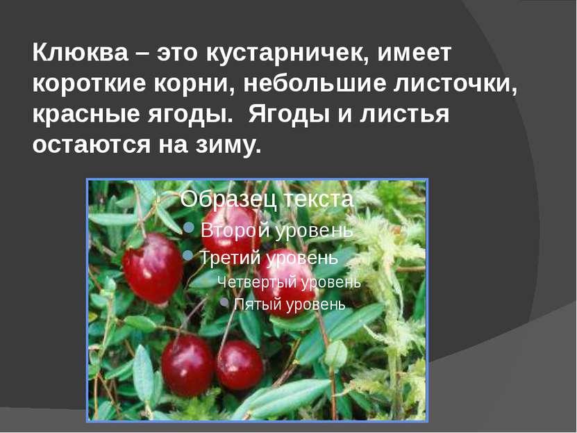 Клюква – это кустарничек, имеет короткие корни, небольшие листочки, красные я...