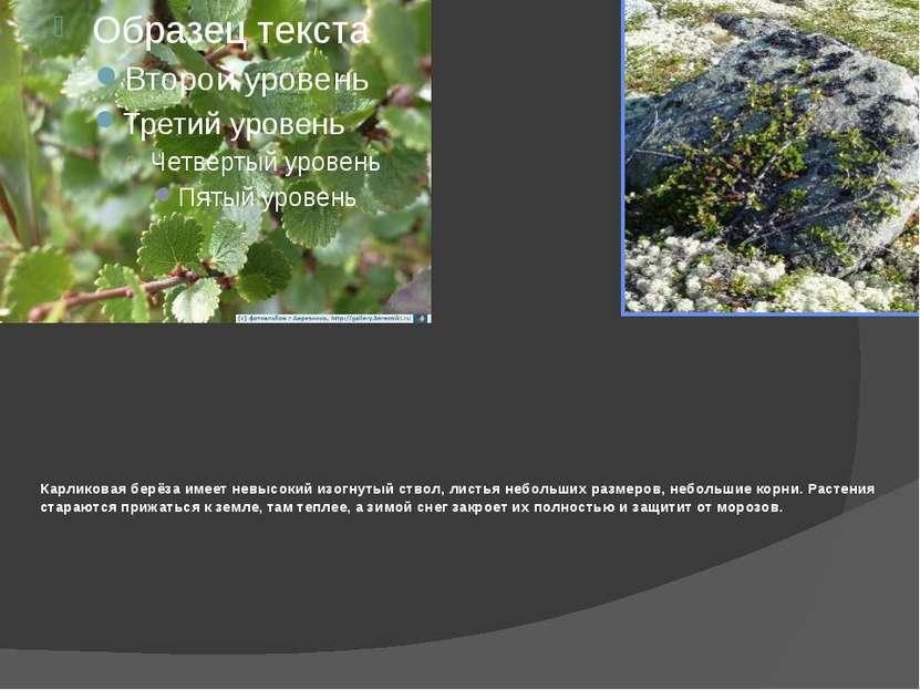 Карликовая берёза имеет невысокий изогнутый ствол, листья небольших размеров,...