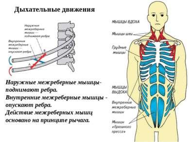 Наружные межреберные мышцы- поднимают ребра. Внутренние межреберные мышцы - о...