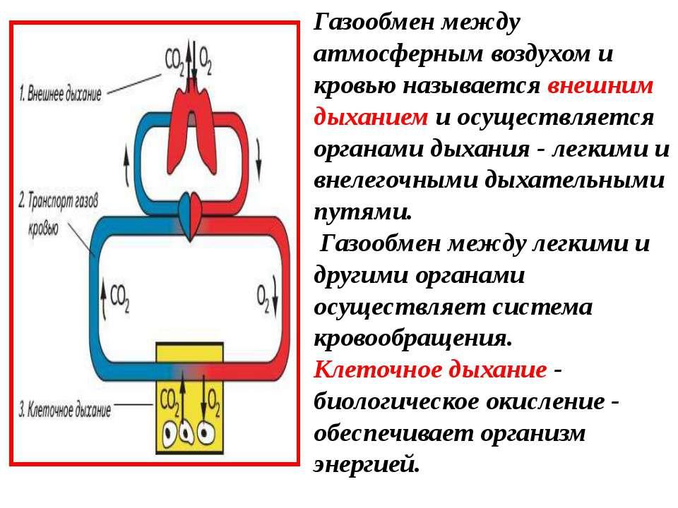 Газообмен между атмосферным воздухом и кровью называется внешним дыханием и о...