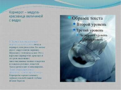 Корнерот – медуза-красавица величиной с ведро В Черном и Азовском морях широк...