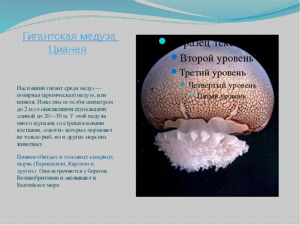 Гигантская медуза Цианея Настоящий гигант среди медуз — полярная (арктическая...