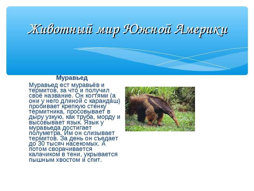 Животный мир Южной Америки Муравьед Муравьед ест муравьёв и термитов, за что ...