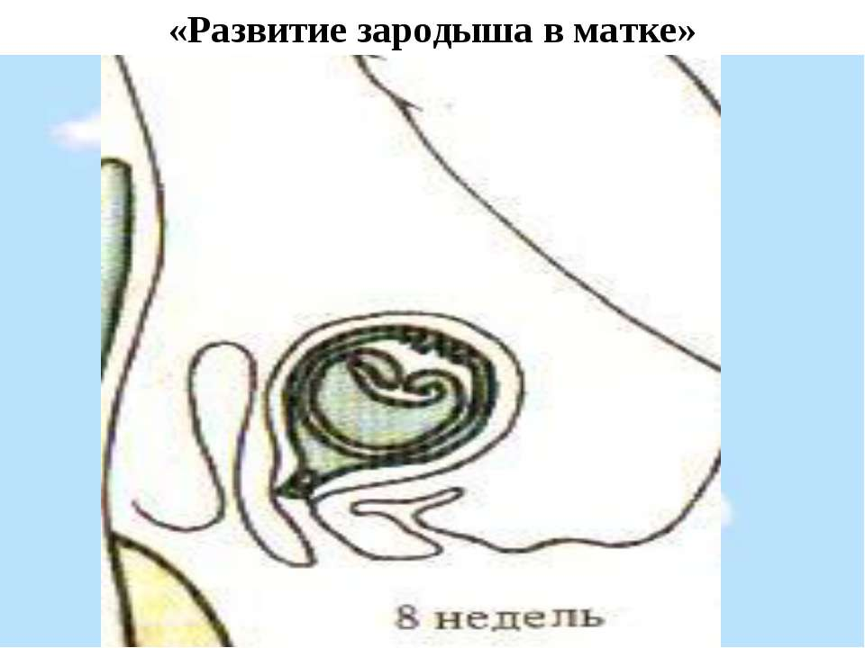 «Развитие зародыша в матке»