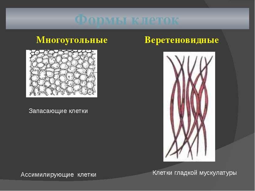 Формы клеток Многоугольные Веретеновидные Запасающие клетки Ассимилирующие кл...
