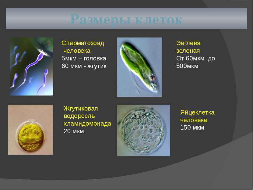Размеры клеток Сперматозоид человека 5мкм – головка 60 мкм - жгутик Жгутикова...