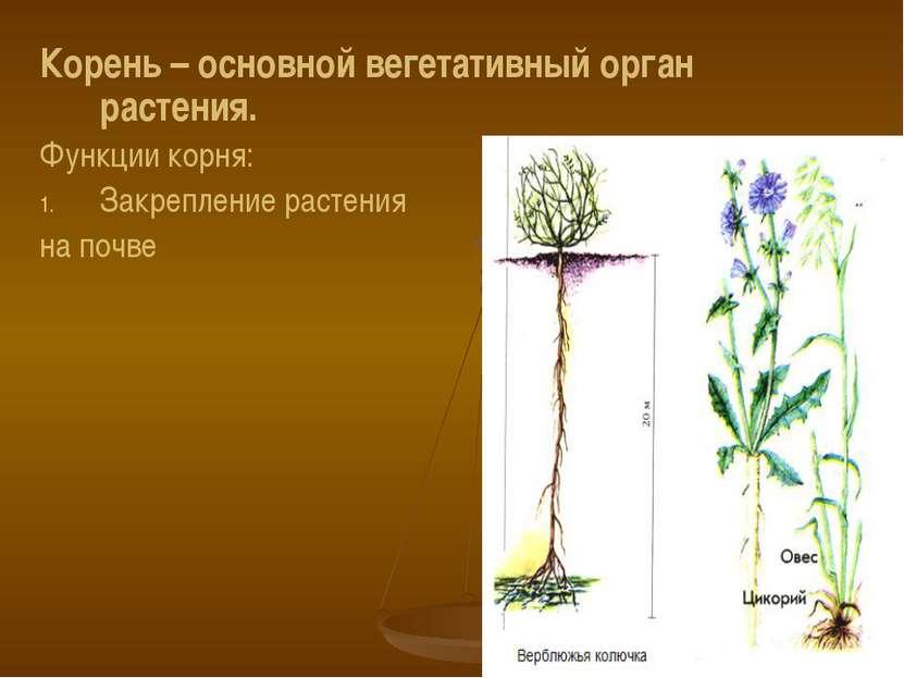 Корень – основной вегетативный орган растения. Функции корня: Закрепление рас...