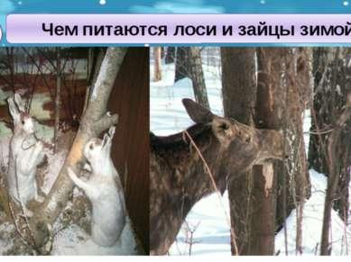 Чем питаются лоси и зайцы зимой? травой под снегом корой молодых деревьев опа...