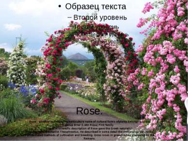 Rose. Rose - adopted in decorative horticulture name of cultural forms ofplan...