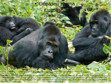 Gorillas. Gorillas-genus of monkeysincludingthe largestmodernrepresentat...