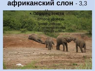 африканский слон - 3,3 ч.