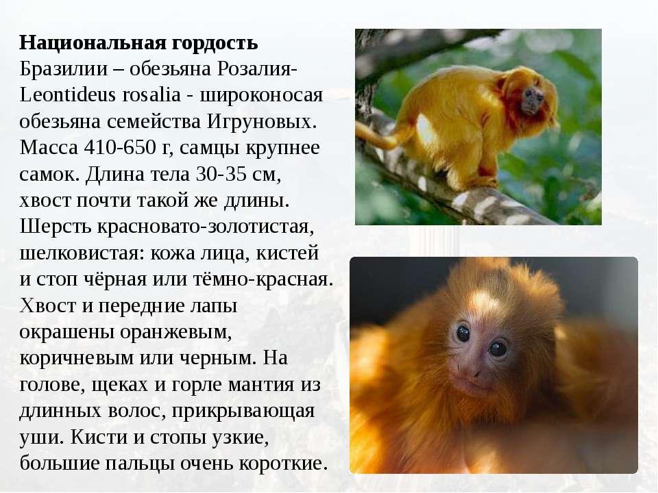 Национальная гордость Бразилии – обезьяна Розалия- Leontideus rosalia - широк...