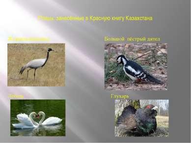 Птицы, занесённые в Красную книгу Казахстана Журавль-красавка Большой пёстрый...