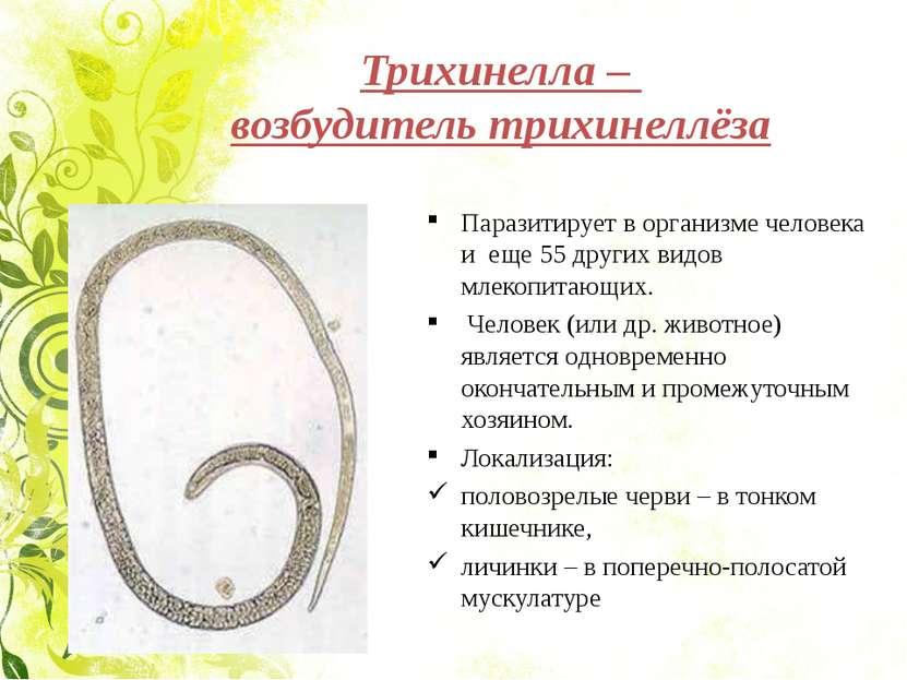 Трихинелла – возбудитель трихинеллёза Паразитирует в организме человека и еще...