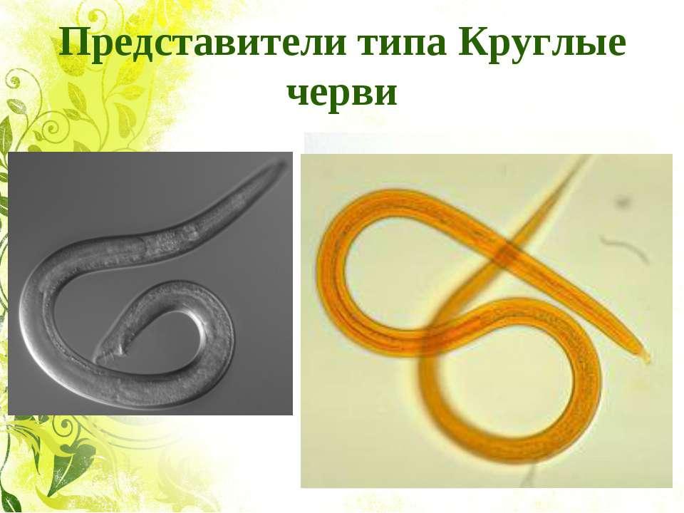 Представители типа Круглые черви