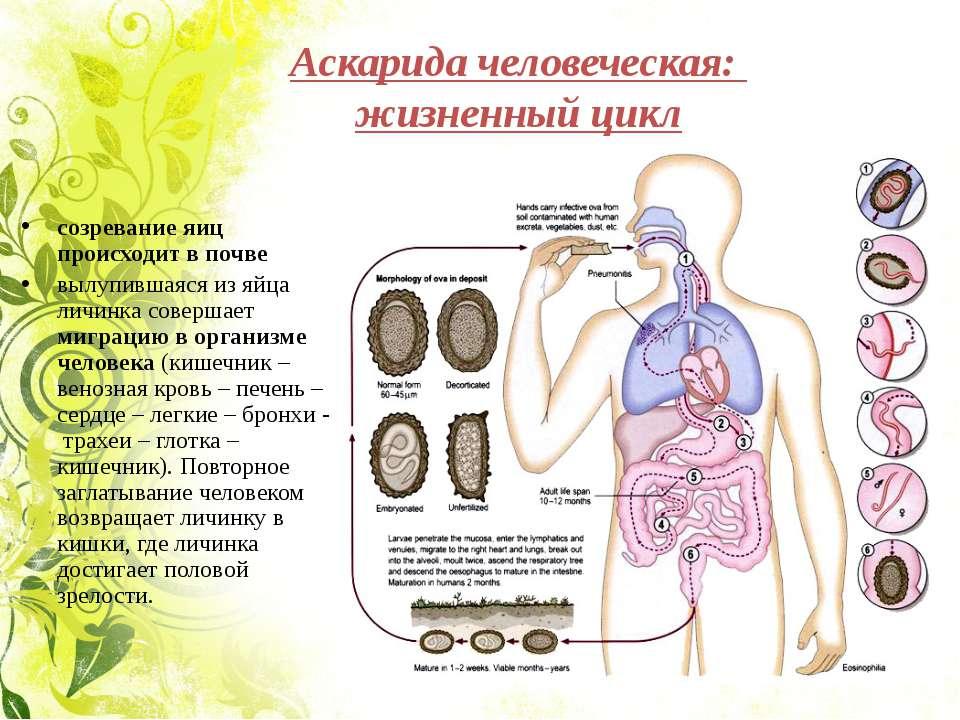 Аскарида человеческая: жизненный цикл созревание яиц происходит в почве вылуп...