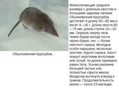 Обыкновенная бурозубка. Млекопитающие среднего размера с длинным хвостом и бо...