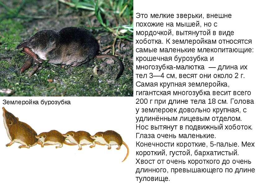 Землеройка бурозубка Это мелкие зверьки, внешне похожие на мышей, но с мордоч...
