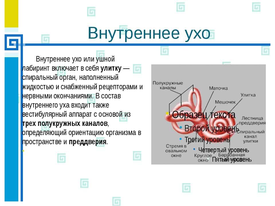 Внутреннее ухо Внутреннее ухо или ушной лабиринт включает в себя улитку — спи...
