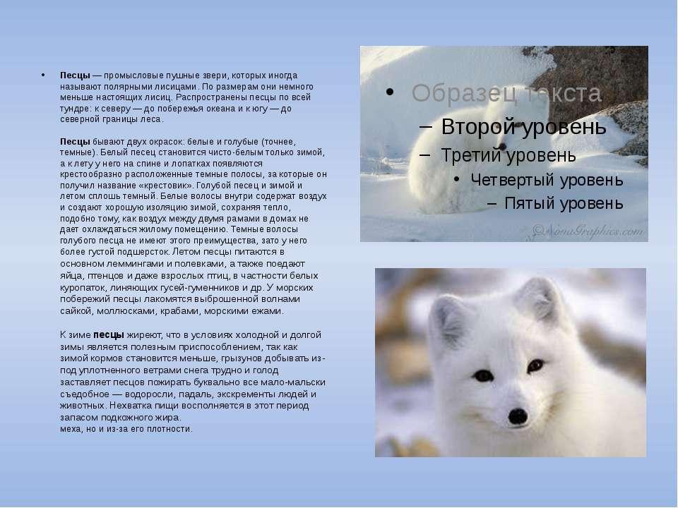 Песцы — промысловые пушные звери, которых иногда называют полярными лисицами....