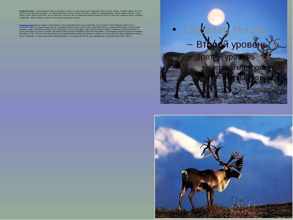 Северный олень - единственный олень, у которого и самцы и самки несут рога. С...