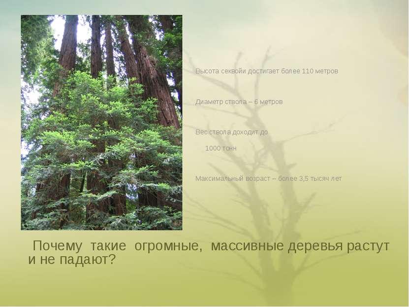 Почему такие огромные, массивные деревья растут и не падают? Высота секвойи д...