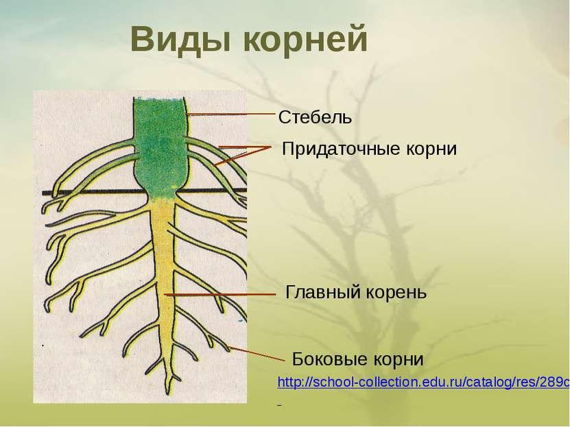 Виды корней Стебель Придаточные корни Главный корень Боковые корни http://sch...