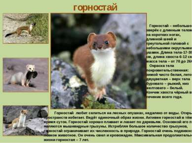 горностай Горностай – небольшой зверёк с длинным телом на коротких ногах, дли...