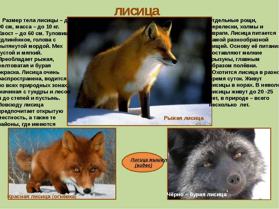 Лисица мышкует (видео) лисица Рыжая лисица Красная лисица (огнёвка) Чёрно – б...