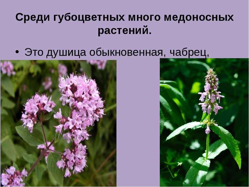 Среди губоцветных много медоносных растений. Это душица обыкновенная, чабрец,...