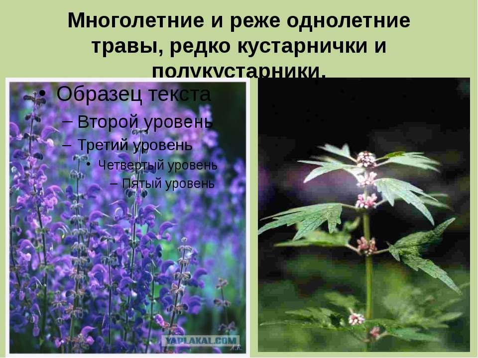 Многолетние и реже однолетние травы, редко кустарнички и полукустарники.