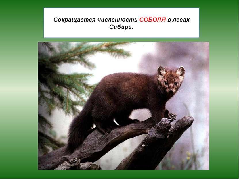 Сокращается численность СОБОЛЯ в лесах Сибири.