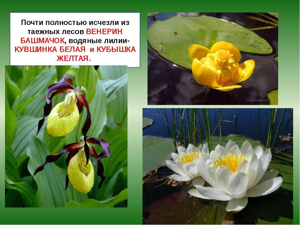 Почти полностью исчезли из таежных лесов ВЕНЕРИН БАШМАЧОК, водяные лилии- КУВ...