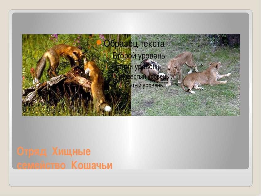 Отряд Хищные семейство Кошачьи