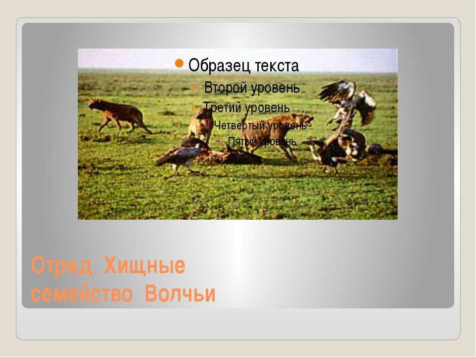 Отряд Хищные семейство Волчьи