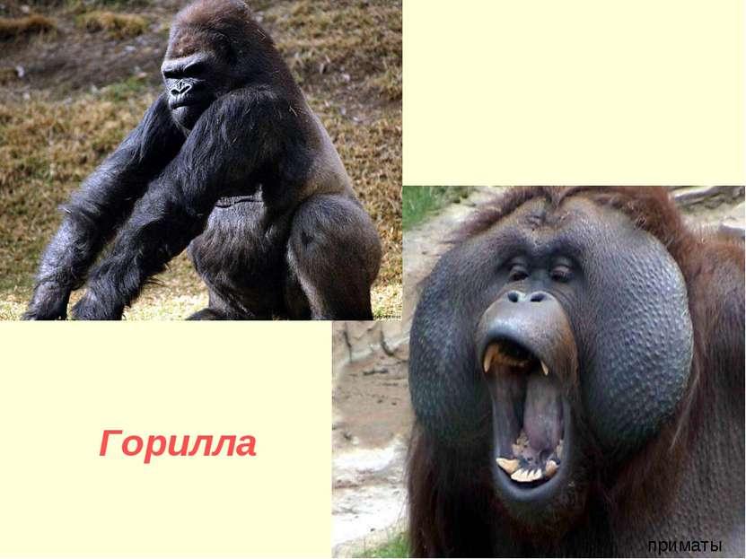 Горилла приматы