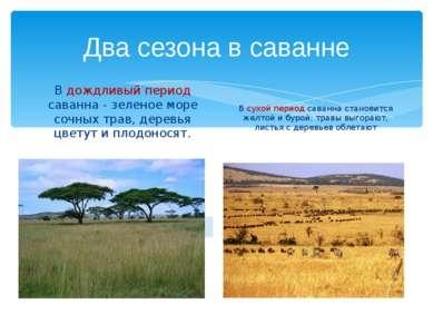 Два сезона в саванне В дождливый период саванна - зеленое море сочных трав, д...